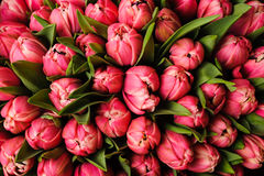 Tulipani rosa luminosi freschi con il fondo verde della molla della natura delle foglie Struttura del fiore fotografie stock