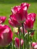 Tulipani rosa medi isolati con i gambi fotografia stock libera da diritti