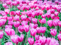 Tulipani rosa nel giardino Fotografia Stock Libera da Diritti