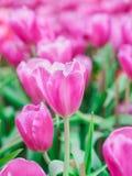 Tulipani rosa nel giardino Immagine Stock Libera da Diritti