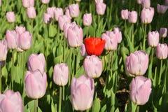Tulipani rosa nel giardino Immagine Stock