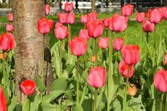 Tulipani rosa nel giardino Fotografia Stock