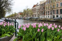 Tulipani rosa nella priorità alta con un canale e un'architettura tipici di Amsterdam, Paesi Bassi Fotografia Stock