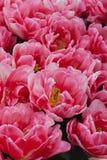 Tulipani rosa sboccianti in primavera fotografie stock libere da diritti