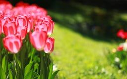 Tulipani rosa su fondo verde Immagine Stock