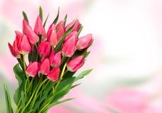 Tulipani rosa sul fondo di colore Fotografie Stock Libere da Diritti