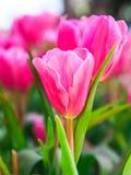 Tulipani rosa uno nel giardino Immagini Stock Libere da Diritti