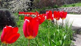 Tulipani rossi immagini stock libere da diritti