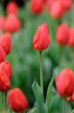 tulipani rossi immagini stock