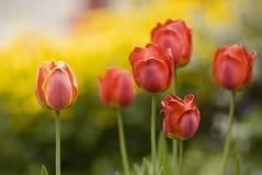 Tulipani rossi. Immagine Stock
