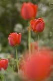 Tulipani rossi. Fotografia Stock Libera da Diritti