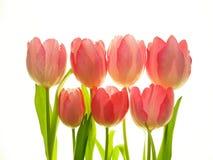 Tulipani rossi Fotografie Stock Libere da Diritti