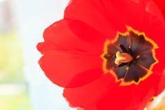 Tulipani rossi Fotografia Stock