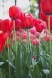 Tulipani rossi Fotografie Stock