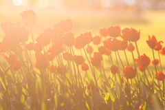 Tulipani rossi backlit Fotografia Stock