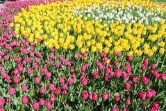 Tulipani rossi Bello mazzo dei tulipani Tulipani variopinti Fotografia Stock