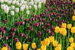 Tulipani rossi Bello mazzo dei tulipani Tulipani variopinti Fotografie Stock