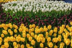 Tulipani rossi Bello mazzo dei tulipani Tulipani variopinti Immagini Stock Libere da Diritti