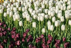 Tulipani rossi Bello mazzo dei tulipani Tulipani variopinti Immagine Stock