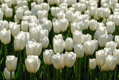 Tulipani rossi Bello mazzo dei tulipani Tulipani variopinti Immagine Stock Libera da Diritti