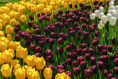 Tulipani rossi Bello mazzo dei tulipani Tulipani variopinti Immagini Stock