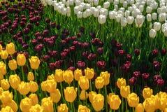 Tulipani rossi Bello mazzo dei tulipani Tulipani variopinti Fotografia Stock Libera da Diritti
