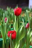Tulipani rossi che crescono nella scuola materna del giardino immagini stock libere da diritti