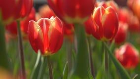Tulipani rossi che ondeggiano nel vento Primo piano stock footage