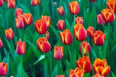 Tulipani rossi con il bello fondo del mazzo Fotografia Stock