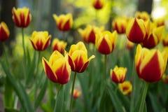 Tulipani rossi con la fioritura gialla del modello un giorno soleggiato nel parco su un fondo delle foglie verdi fotografia stock