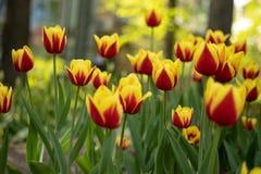 Tulipani rossi con la fioritura gialla del modello un giorno soleggiato nel parco su un fondo delle foglie verdi immagine stock libera da diritti
