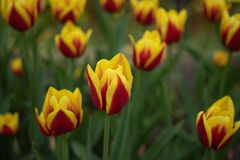 Tulipani rossi con la fioritura gialla del modello un giorno soleggiato nel parco su un fondo delle foglie verdi fotografie stock libere da diritti