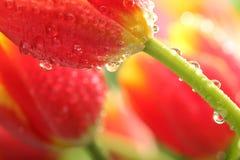 Tulipani rossi con le gocce di acqua Fotografie Stock Libere da Diritti