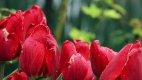 Tulipani rossi con le gocce di pioggia video d archivio
