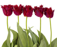 Tulipani rossi del velluto Immagini Stock Libere da Diritti