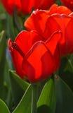 Tulipani rossi della molla Fotografia Stock Libera da Diritti