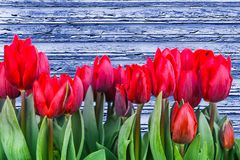 Tulipani rossi della primavera che fioriscono con i gambi verdi contro un fondo di legno blu rustico Fotografie Stock