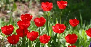 Tulipani Tulipani rossi di colori unici su luce solare Fondo della carta da parati del tulipano Il tulipano fiorisce la struttura Fotografie Stock Libere da Diritti