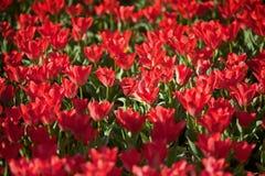 Tulipani rossi di fioritura Fotografia Stock Libera da Diritti