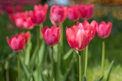 Tulipani rossi di fioritura Immagini Stock Libere da Diritti