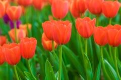 Tulipani rossi di fioritura della primavera in giardino Immagine Stock Libera da Diritti