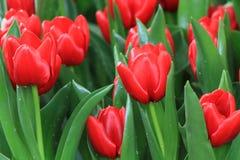 Tulipani rossi di fioritura dopo pioggia Fotografie Stock Libere da Diritti
