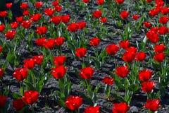 Tulipani rossi di fioritura luminosi Immagine Stock