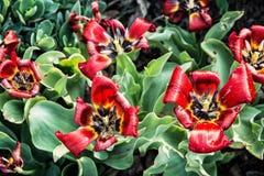 Tulipani rossi di fioritura piantati nel giardino Fotografia Stock