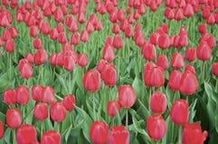 Tulipani rossi durante la molla Fotografie Stock Libere da Diritti