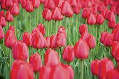Tulipani rossi durante la molla Fotografia Stock Libera da Diritti