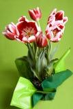 Tulipani rossi e bianchi Fotografie Stock
