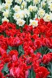 Tulipani rossi e bianchi. Fotografia Stock Libera da Diritti