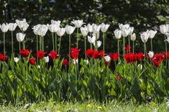 Tulipani rossi e bianchi Fotografie Stock Libere da Diritti