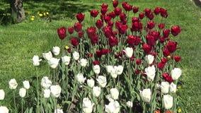 Tulipani rossi e bianchi video d archivio